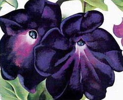 Black_and_purple_petunias