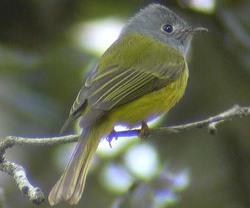 Greyheaded_canary